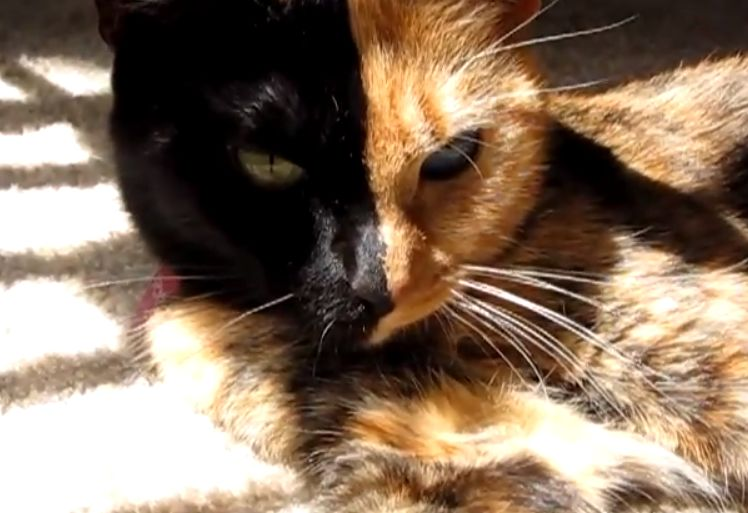 Two-Faced Cat becomes internet Sensation: Image Credit YouTube