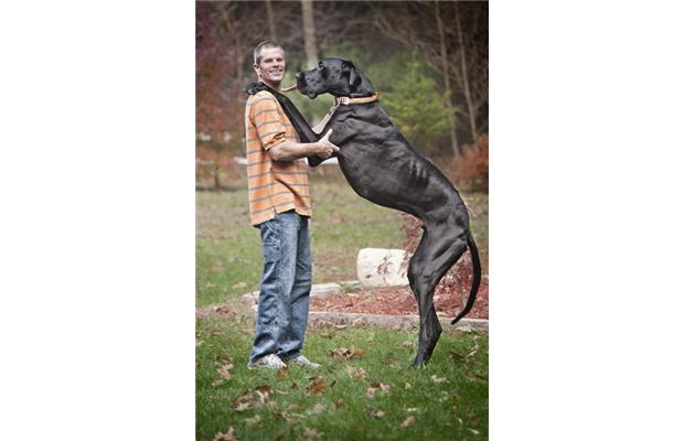 Great Dane From Michigan is World's Tallest Dog, Zeus ...