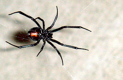 This large female black widow (~18 mm) was found on a 5 foot web in Westminster CA on 11/18/2006. This photo shows the textbook red hourglass on the abdomen as well as the legs and mouth. Author: Chepyle