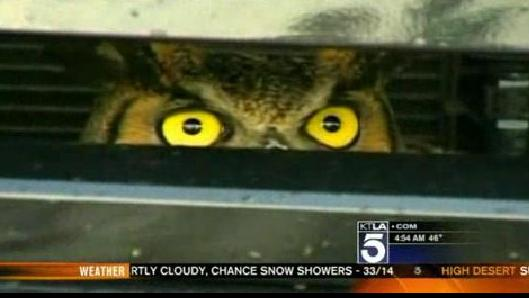Owl Stuck in Grill After Being Hit By SUV (VIDEO)