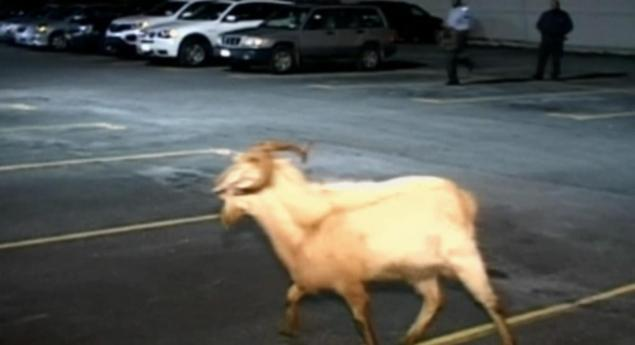 goat escapes brooklyn slaughterhouse - Goes on Horny rampage