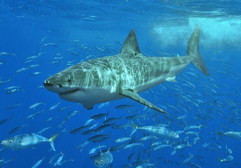 Canadian fisherman hooks 18-foot great white shark Near Florida