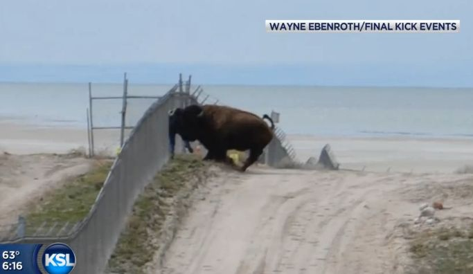 Bison Attack Caught On Video: Man Pinned Against Fence