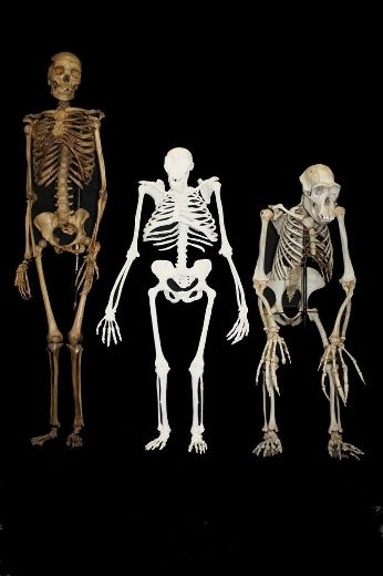 This image courtesy of the University of the Witwatersrand shows a composite reconstruction of 'Australopithecus sediba' based on recovered material from MH1, MH2 and MH4 and based upon the research presented in the accompanying manuscripts. UNIVERSITY OF THE WITWATERSRAND/LEE BERGER