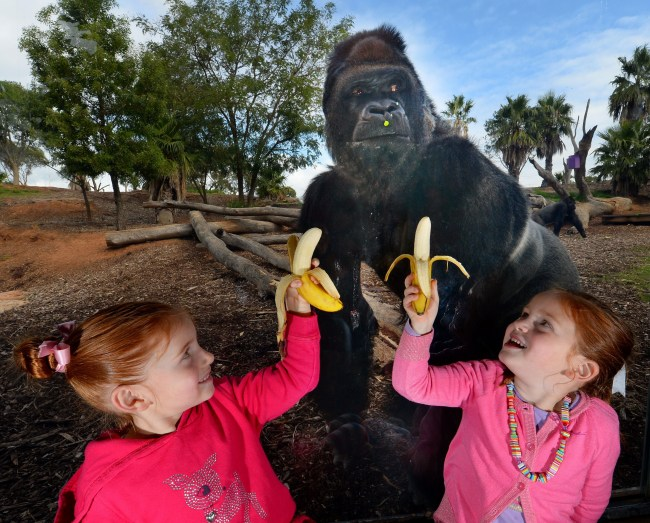 Gorilla Photobombs Girls At Melbourne's Famous Zoo