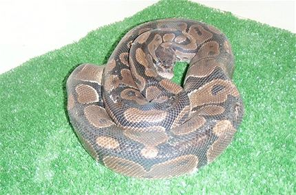 Python Found In Winnipeg Dumpster