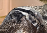 Archie the anteater nestles on his mom at the LEO Zoological Conservation Center in Greenwich, Conn.
