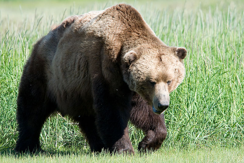 bear mauling was avoidable say officials