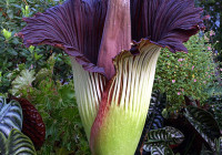 Corpse Flower Blooms Again at U.S. University