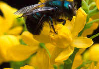 Bees Poisoned In Manitoba, RCMP To Invistigate