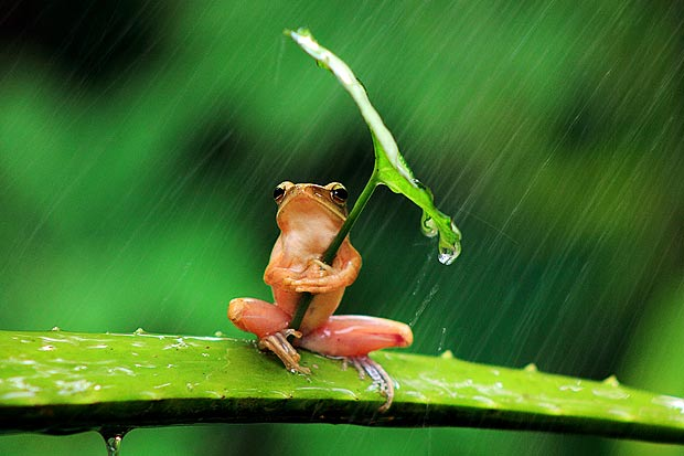 Tiny frog shelters under leaf umbrella, Cutest Thing Ever?