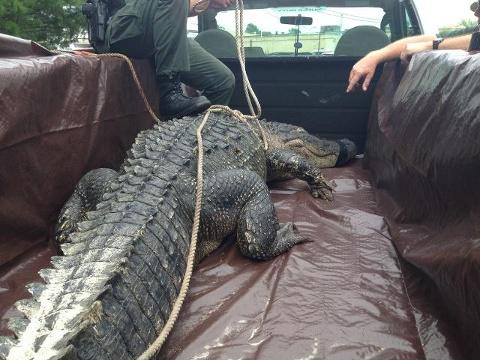Gator killed After Eating Husky In North Carolina