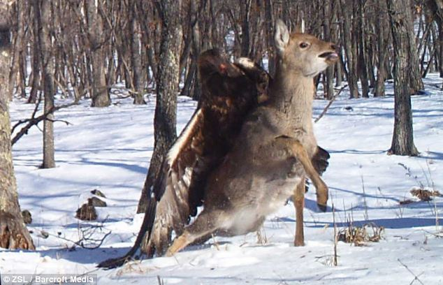 Endgame: The eagle then drags the deer out of shot to make its me