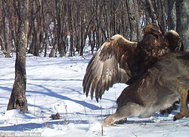 Drag: The bird can then be seen digging its claws in and starting to drag its prey away