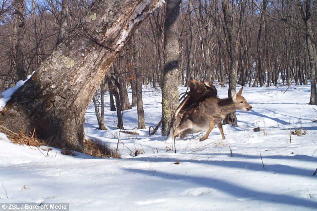 Impact: In this shot the eagle makes contact with the deer