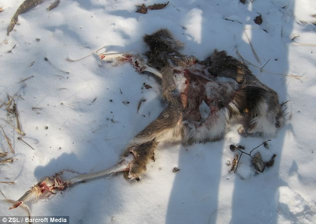 Messy end: The remains of the deer were found two weeks after the attack, near where the shots had been taken