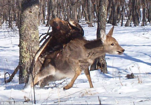 Swoop: This golden eagle soars in and sinks its claws into a Sika deer