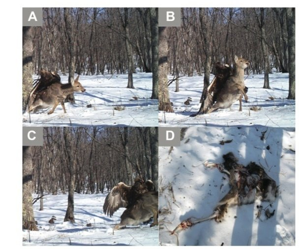 A camera trap captures a golden eagle attacking a young sika deer at Lazovskii State Nature Reserve in the southern Russian Far East on Dec. 1, 2011.
