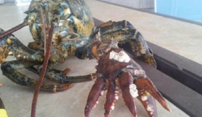 Six-clawed lobster Caught, Will Avoid The Dinner Table
