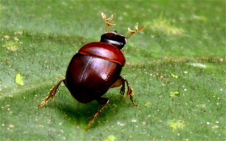 The Lilliputian beetle (TROND LARSEN/CONSERVATION INTERNATIONAL)
