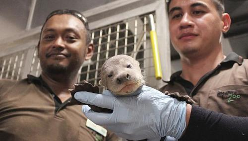 Giant River Otter Born At WRS Park In Asia