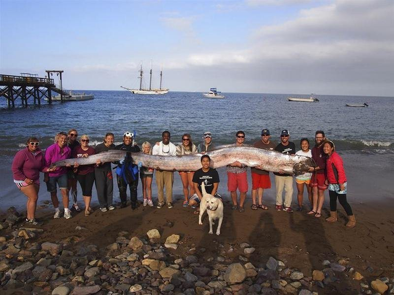 Catalina Island Marine Institute / Reuters The crew of sailing school vessel Tole Mour and Catalina Island Marine Institute instructors hold an 18-foot-long oarfish that was found in the waters of Toyon Bay on Santa Catalina Island, Calif., Oct. 13, 2013.