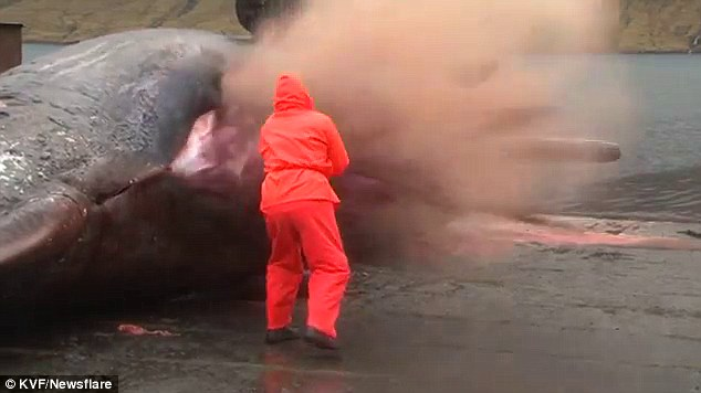 A job that takes guts: Bjarni Mikkelsen tried to cut open a sperm whale carcass which exploded in his face