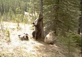 Alberta Bears Video To Open New Doors Alberta Parks Conservation