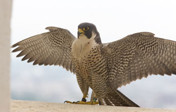 """The Peregrine Falcon is a crow-sized bird with a slate blue back and a cream-coloured chest covered in dark markings. Peregrine Falcons have pointed wings that span about one metre, a narrow tail and adults have a prominent black """"moustache."""" The dark feathers on the falcon's head make the bird look like it's wearing a helmet. Another distinguishing feature of this falcon is its bright yellow feet and legs."""