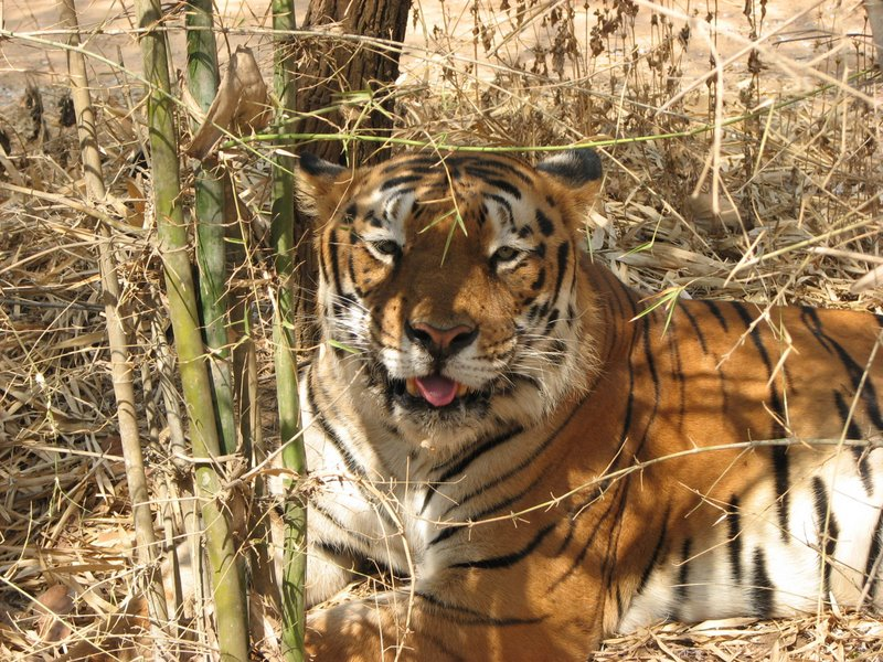 about white tiger in hindi