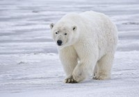 Polar Bear Leaving Queensland birthplace for new Home in Canada