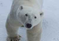 New Study Says Polar Bears in the High Arctic Doomed by 2100 Due to Global Warming