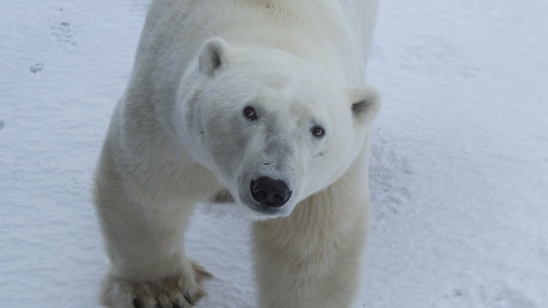 See Polar Bears In Their Natural Habitat In Canada With Google Street View