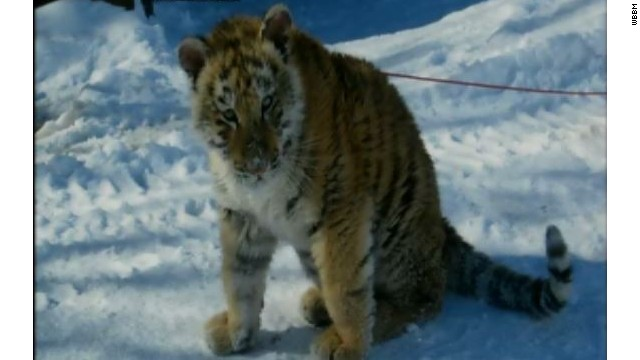 A Chicago-area man faces charges after allegedly bringing a tiger cub into a bar.