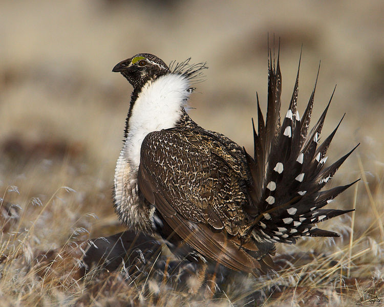 Sage grouse going the way of the Dodo Bird Say Canadian Experts