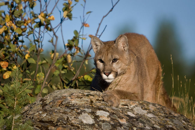 Gril 11 Shoots Cougar With Gun: Cougar Was Following Brother (PHOTO)