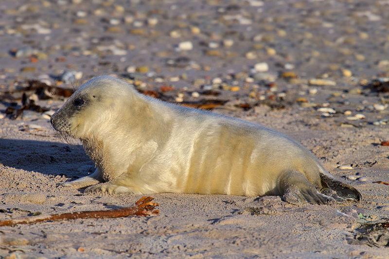 Parasite that Killed Grey Seals Identified - Global Warming Blamed