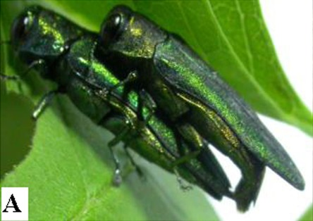 The Emerald Ash Borer was first discovered in America in June 2002 in Michigan. It is believed to have been brought to America unintentionally in ash wood which was used to stabilize crates during shipping.