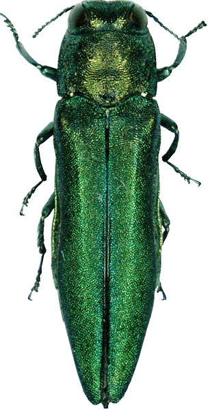 The emerald ash borer (Agrilus planipennis) is a green beetle native to Asia and Eastern Russia.[2] Outside its native region, the emerald ash borer (also referred to as EAB) is an invasive species, and emerald ash borer infestation is highly destructive to ash trees in its introduced range.