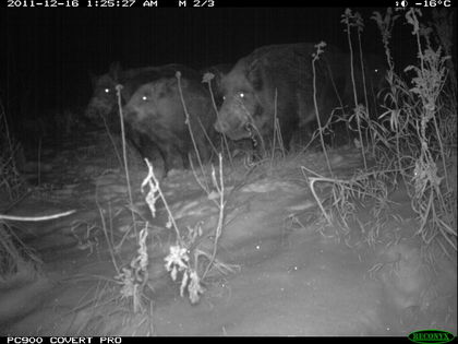 Feral Pigs in British Columbia Can Be Hunted 24x7