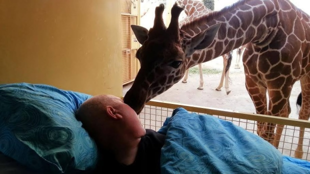 Giraffe kisses zookeeper