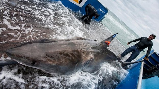 Researchers are using a hydraulic platform to tag the sharks safely - including Lydia (pictured)
