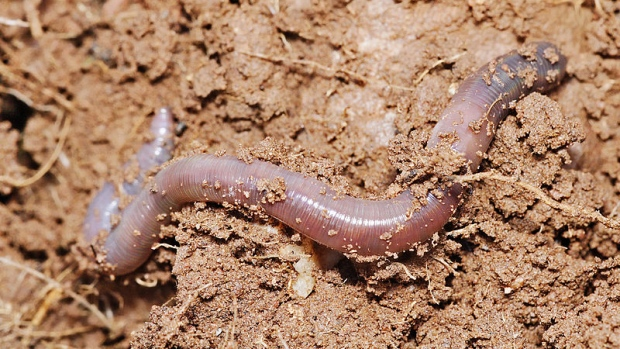 Researchers at the University of Alberta say earthworms have already crossed the Alberta border heading into the Northwest Territories and may be making inroads into the Yukon. (Wikimedia Commons)