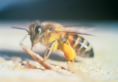 Scientists Call for Banning Pesticides Linked to Bee Deaths