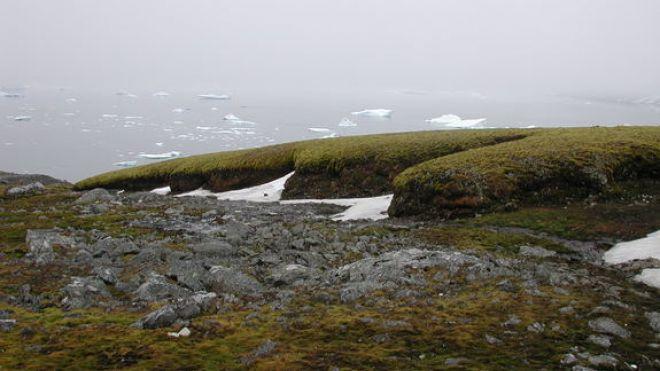 Moss growing on Signy Island offshore of Antarctica. (P. BOELEN)