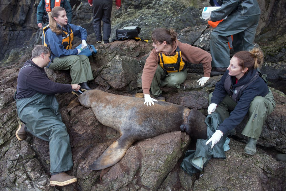 The team working on one of the tangled sea lions. Credit: Vancouver Aquarium
