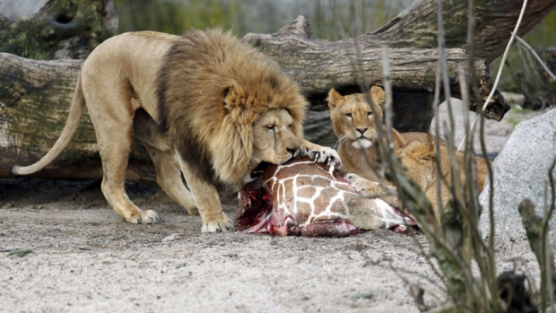A February 2014 file photo shows the carcass of Marius, a male giraffe, being eaten by lions after he was put down in Copenhagen Zoo. The zoo has faced renewed protests after it has put down four lions, including two cubs, to make room for a new male lion. (Associated Press)