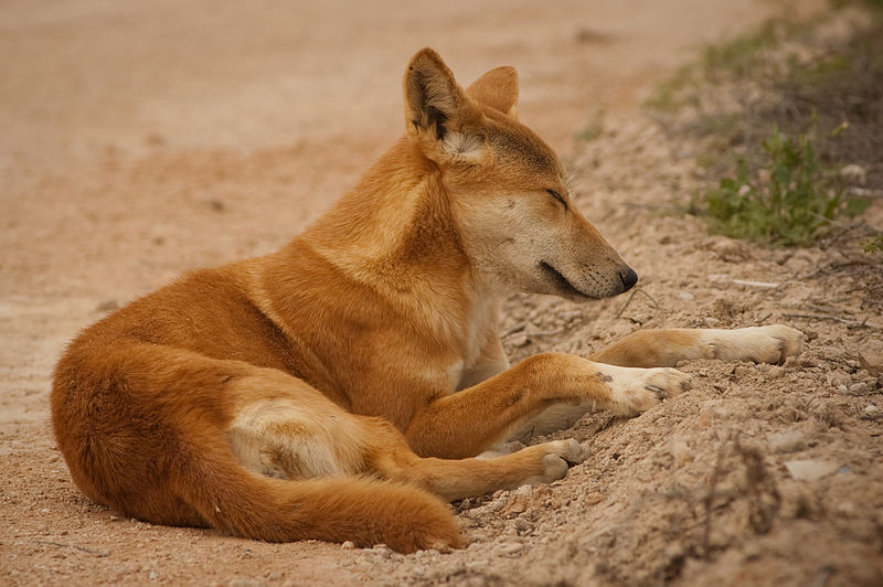 The dingo (Canis lupus dingo) is a free-ranging dog found mainly in Australia, as well as Southeast Asia, where it is said to have originated. It is currently classified as a subspecies of the grey wolf, Canis lupus.