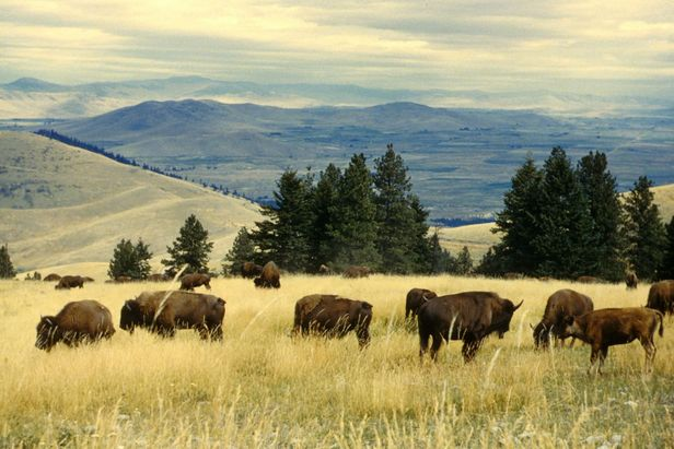 Bison Stampede at Yellowstone Turns Viral and Speculative (VIa Wiki Commons)
