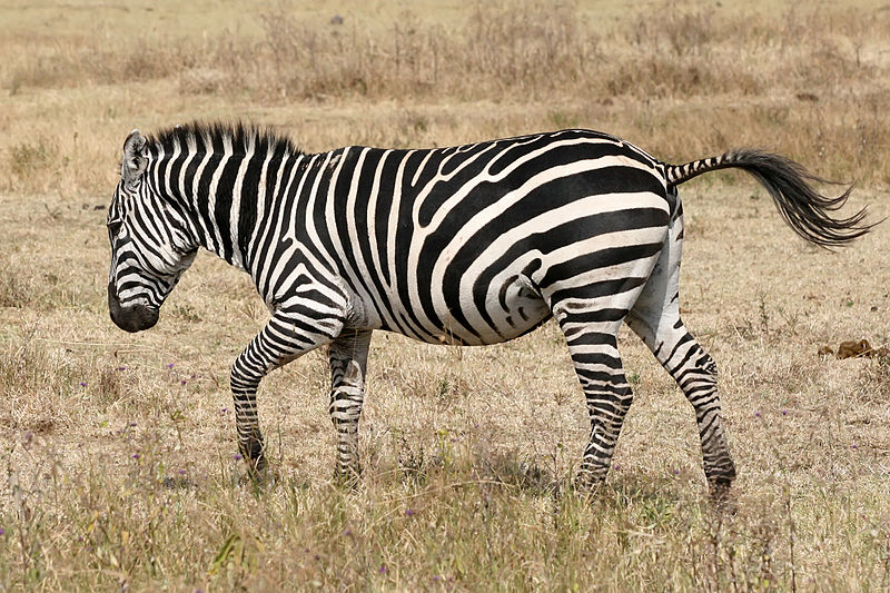 Zebra patterning is a feature found on some prosumer and most professional video cameras to aid in correct exposure. When enabled, areas of the image over a certain threshold are filled with a striped or cross-hatch pattern. Often, two thresholds are available: 70% and 100%. The former is useful for correctly exposing skin tones, while the latter is used to ensure overall scene exposure is correct.